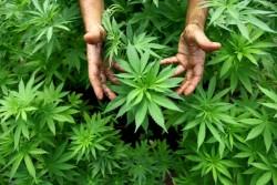 Depenalizzazione cannabis: la proposta approda in Parlamento