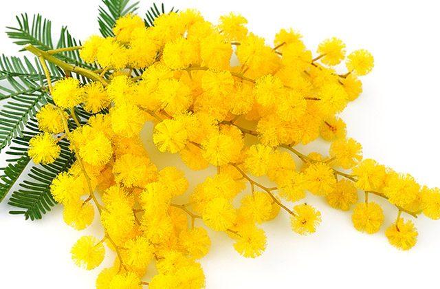Mimosa Festa della donna 2019  significato e perché si regala 8334a39d37aa
