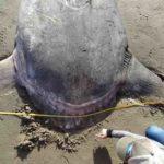 Pesce luna: mola tecta in California, dove vive e quanto pesa