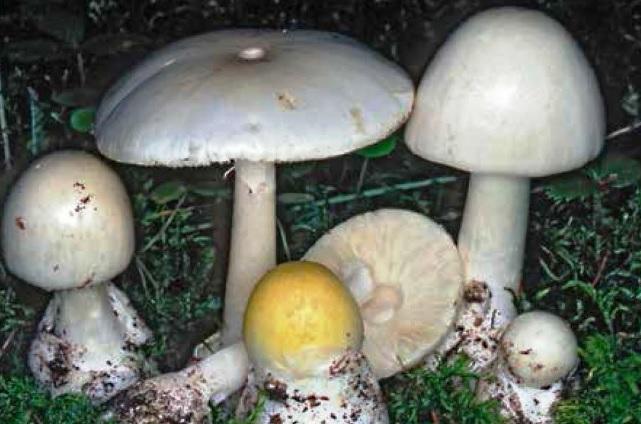 Amanita falloide sintomi e conseguenza dell'avvelenamento da fungo