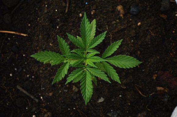 Cannabis light in Italia